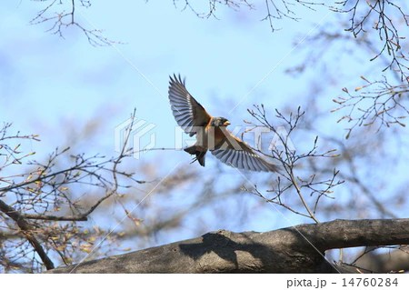 生き物 鳥類 アトリ、雄の飛翔②の寫真素材 [14760284] - PIXTA