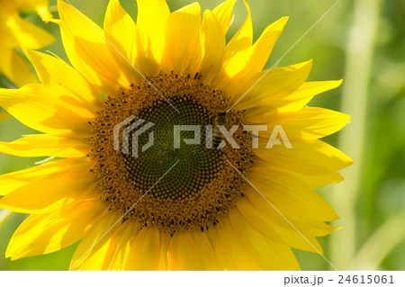 sunflower with a beeの寫真素材 [24615061] - PIXTA