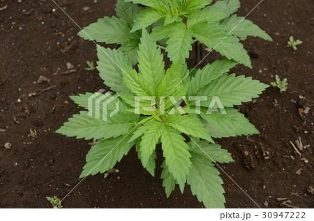 大麻草の寫真素材 [30947222] - PIXTA