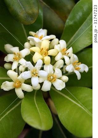 トベラ(海桐花)の寫真素材 [31747223] - PIXTA