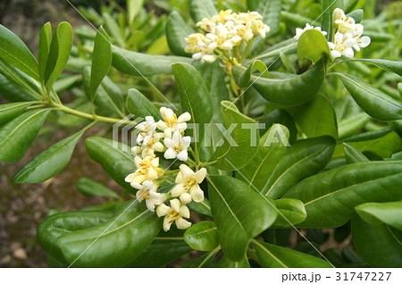 トベラ(海桐花)の寫真素材 [31747227] - PIXTA