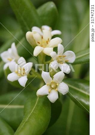 トベラ(海桐花)の寫真素材 [31747231] - PIXTA