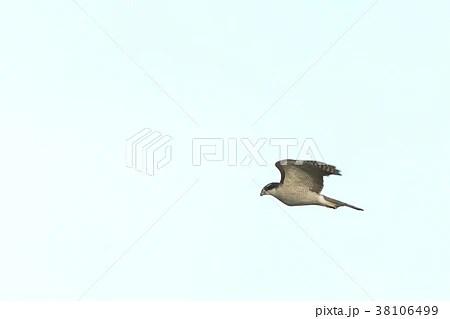 生き物 鳥類 オオタカ、飛翔です。成鳥の下面は細かな橫班、幼鳥は縦縞ですの寫真素材 [38106499] - PIXTA