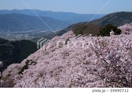 八百萬神之御殿の桜の寫真素材 [39990712] - PIXTA