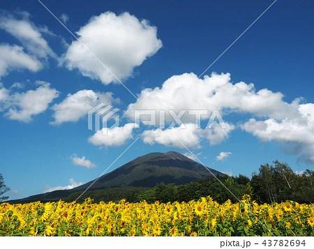北海道 ニセコ町 九月の向日葵と羊蹄山の寫真素材 [43782694] - PIXTA