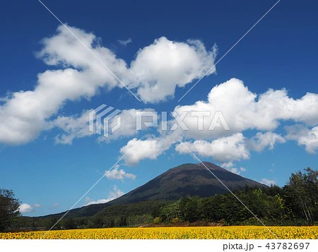 北海道 ニセコ町 九月の向日葵と羊蹄山の寫真素材 [43782697] - PIXTA