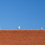 Nine birds on a tile roof