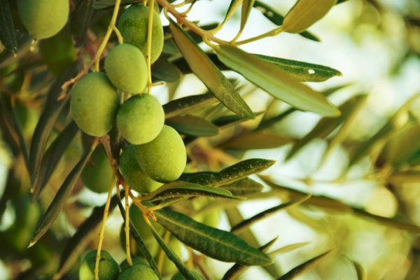 Olive tree pests and their natural treatment - Most common olive tree pests and their natural treatment