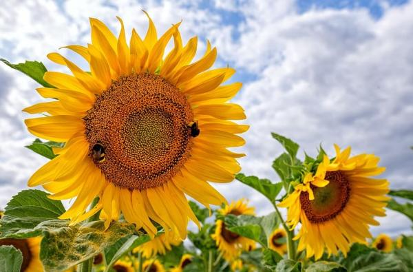 Types of sunflowers - Russian giant
