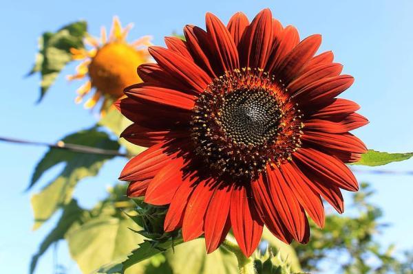 Types of sunflowers - Velvet Queen