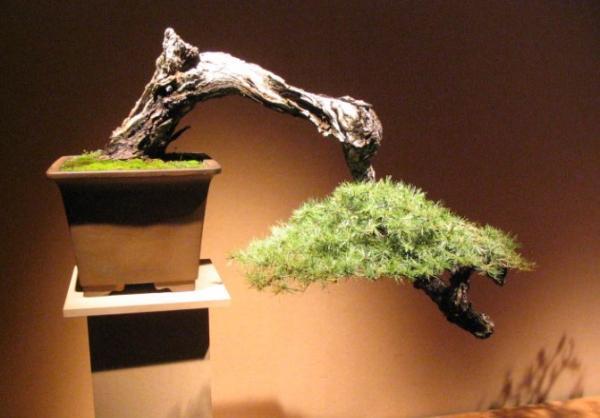 19 types of bonsai - Kengai and Han Kengai