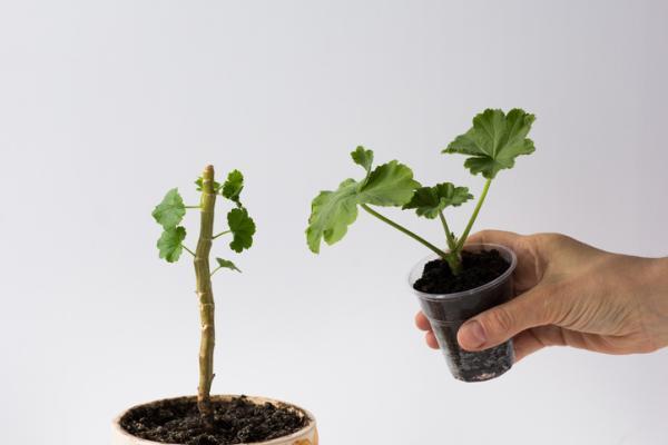How to Plant Geraniums - How to Plant a Geranium Cutting