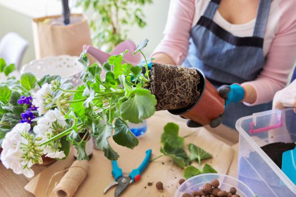How To Plant Geraniums - When And How To Transplant A Geranium