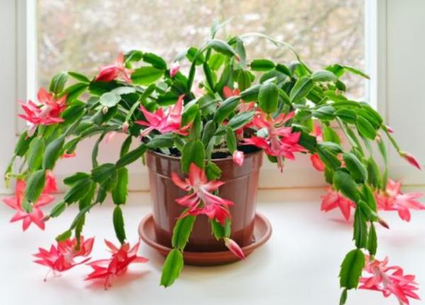 Types of Succulent Plants - Christmas Cactus