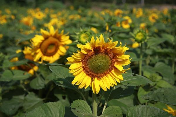 How To Plant Sunflowers - How To Plant Sunflowers Step By Step