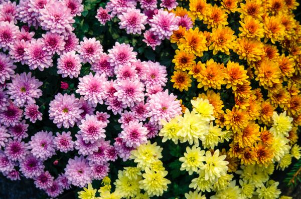 Cold and heat resistant outdoor plants - Chrysanthemum or Chrysanthemum spp.