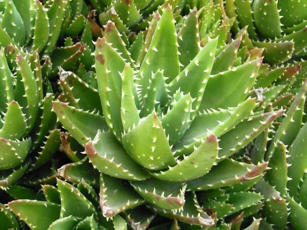 Types of aloe vera - Aloe brevifolia