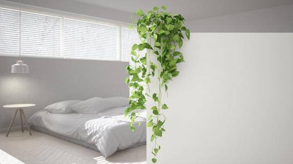 Plants for the bedroom according to Feng Shui - Toxicodendron radicans or English ivy