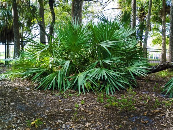 Types of palm trees - Chamaerops humilis