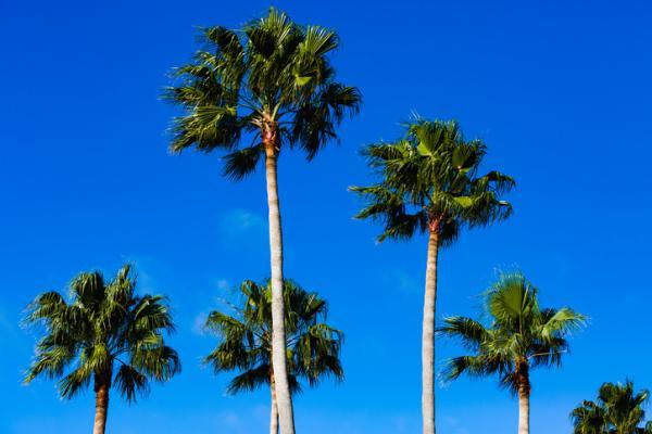 Palm types - Washingtonia robusta