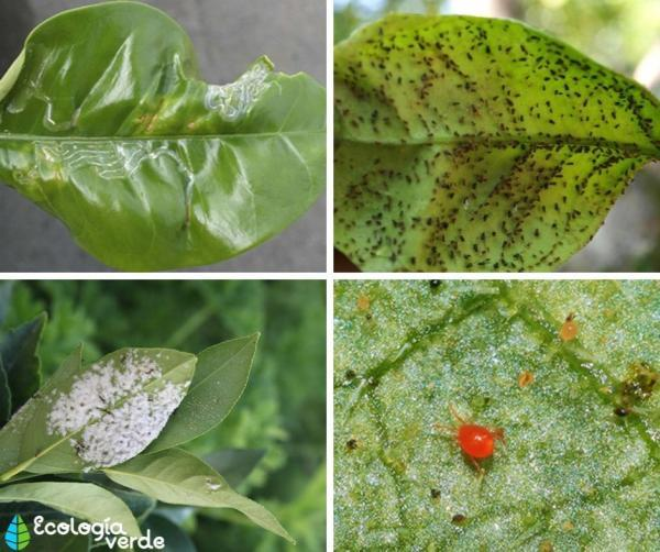 Homemade insecticides for lemon trees - What are the pests on lemon trees