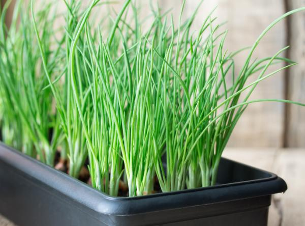 How to plant young garlic - Young garlic in a pot: how to plant them