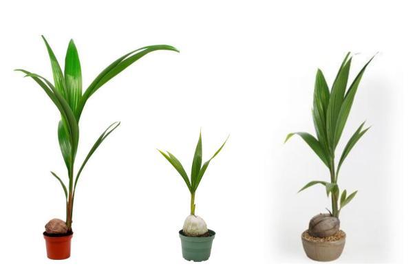 Indoor green plants - Coconut tree