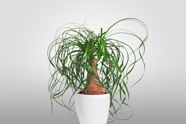 Green Indoor Plants - Elephant Foot