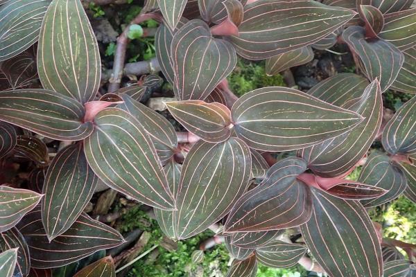 16 small plants - Ludisia