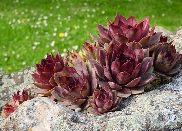 16 small plants - Sempervivum