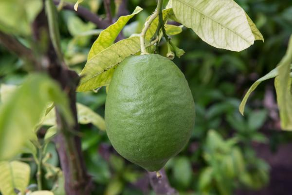 Yellow leaves on the lemon tree: causes and how to save it - Yellow leaves due to lack of zinc