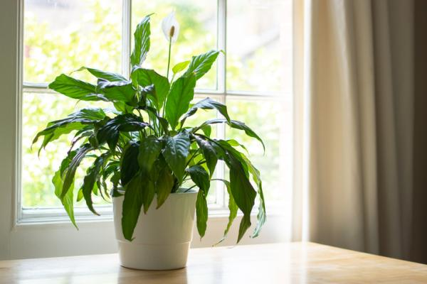 Moisture Absorbing Plants - Peace Lily