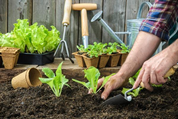 Plant lettuce: how and when to do it - When to plant lettuce