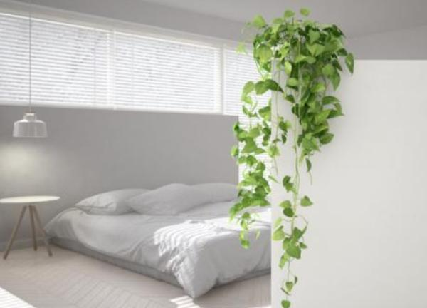 Good luck plants according to Feng Shui - Toxicodendron radicans or English ivy