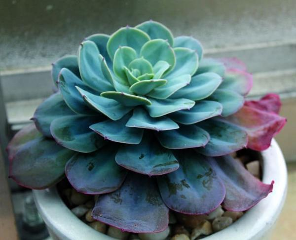 Succulents with flowers: names, characteristics and photos - Echevería