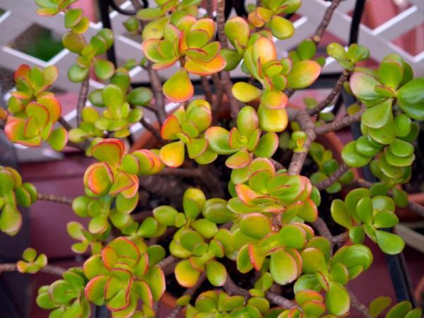 Succulents with flowers: names, characteristics and photos - Jade plant (Crassula ovata)