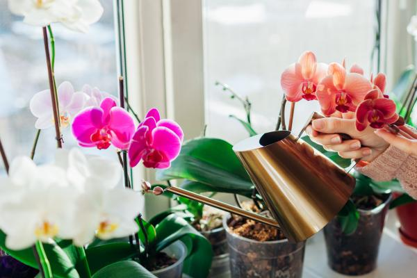 Orchid bloom - Caring for flowering orchids