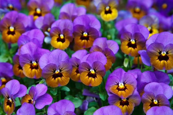 Pansy flower: care - Watering the pansy flower