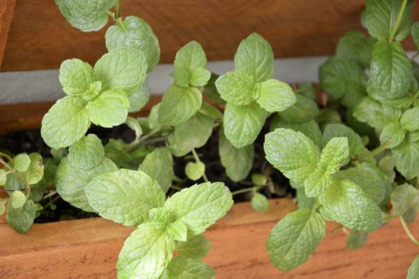 How To Care For Peppermint - When Can You Cut Peppermint