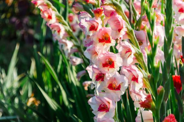 Summer bulbs - Gladiolus