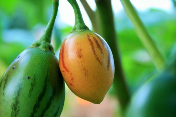 Tree tomato cultivation - Tree tomato cultivation: basic care