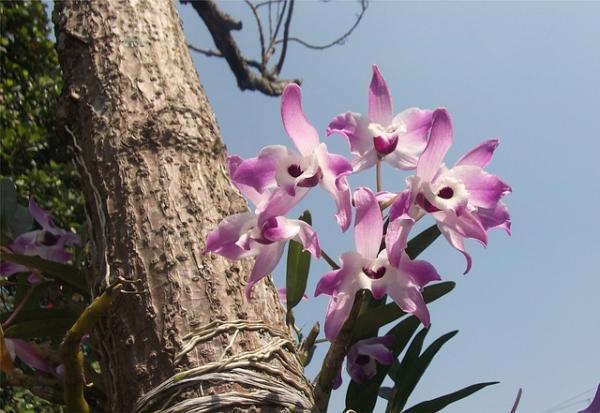 How to Plant Orchids - How to Plant Orchids on a Trunk or Tree - Steps