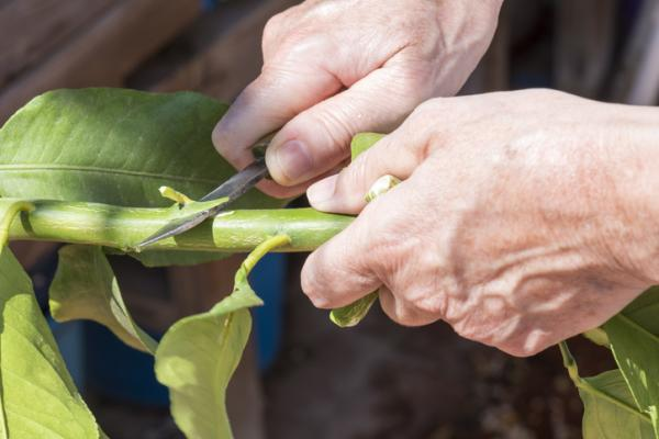Grafting a lemon tree: when and how to do it - How to graft a lemon tree