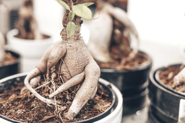 Bonsai ficus ginseng: care - Characteristics of bonsai ficus ginseng