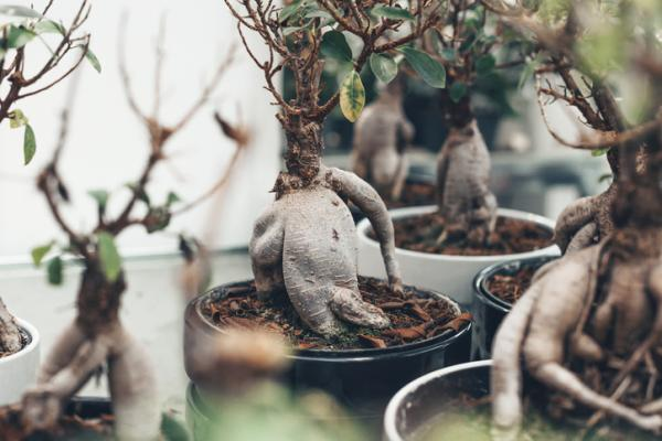 Bonsai ficus ginseng: care - Pruning the bonsai ficus ginseng and other care