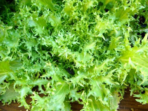 14 types of lettuce - Escarole