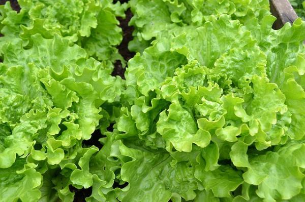 14 types of lettuce - Batavia lettuce