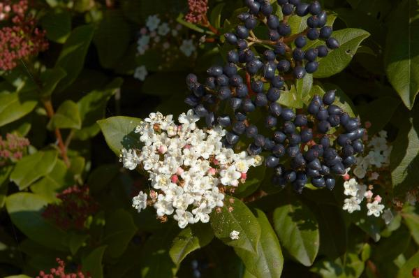 10 cold and shade resistant outdoor plants - Durillo