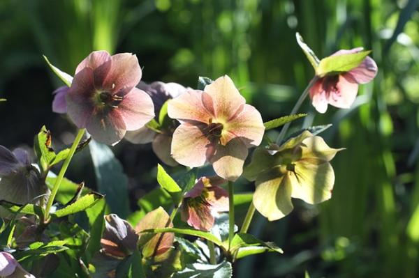 10 cold and shade resistant outdoor plants - Heléboro