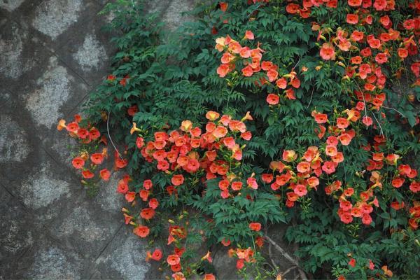 24 climbing plants - Campsis radicans or trumpet vine